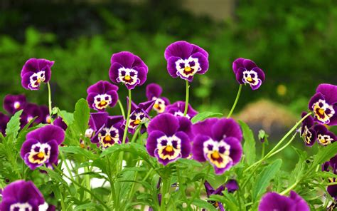 purple flowers for garden smiley purple flowers garden new hd wallpapernew hd