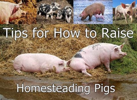 how to raise pigs in your backyard 28 best backyard barnyard hogs pigs images on