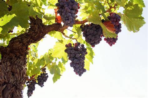 grapes fruit tree wallpaper grapes tree rod fruit hd background