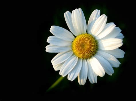 flower picture daisy flower 3 daisy flower part 1 weneedfun
