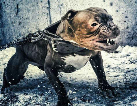 meanest dogs pit bulls the most feared and misunderstood breed