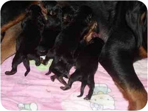 newborn rottweiler puppies newborn puppies adopted puppy buford ga rottweiler