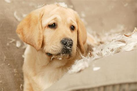 golden retriever puppy behavior how to prevent destructive puppy behavior and chewing