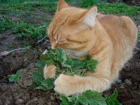 Ovula Cat 10 Softgel Obat Kucing 10 tanaman yang disukai kucing dan bermanfaat untuk kesehatannya bibitbunga