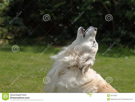 howling golden retriever golden retriever howling stock photography image 20135332