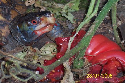 can my eat tomatoes tomato eaten by turtle walter reeves the gardener