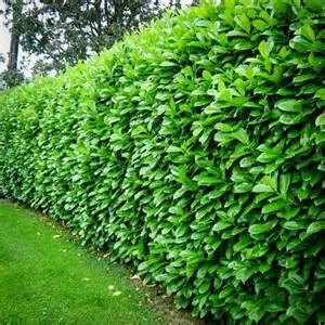 Lowcountry Backyard Cherry English Laurel Mature Hedge