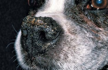 hyperkeratosis in dogs keratinization and seborrheic disorders veterian key