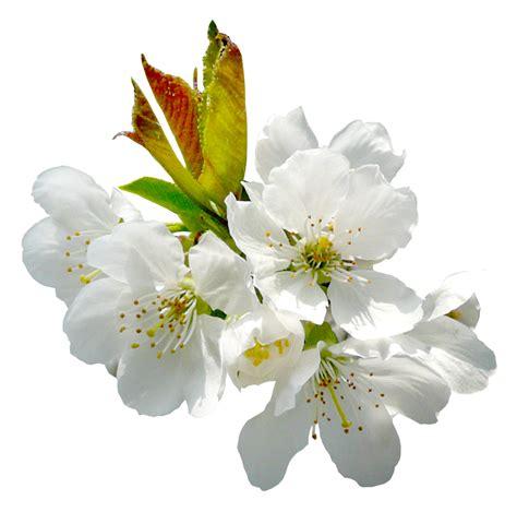 imagenes variadas en png flores png buscar con google marcos png pinterest