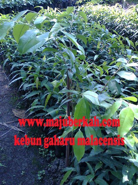 Bibit Durian Bawor Wonogiri kebun gaharu cvmajuberkah kebun bibit gaharu cvmajuberkah