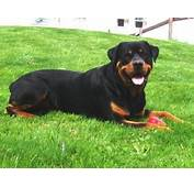 Rottweiler Dog  Interesting Facts &amp New Pictures All
