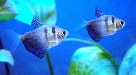 types of aquarium fish types of tropical fish beginner guide tips tropical fish tank