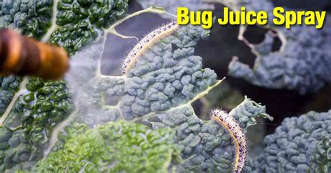 Bug Juice Natural Pesticide Spray Using Bugs To Repel Bugs