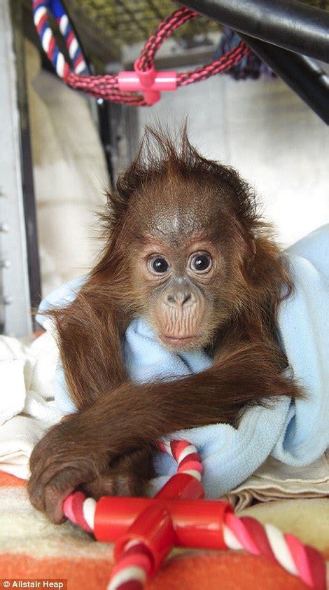 Bulu Mata 9 orphan orangutan at monkey world in dorset just wants a