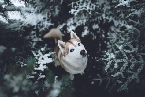 siberian husky hd hd animals  wallpapers images