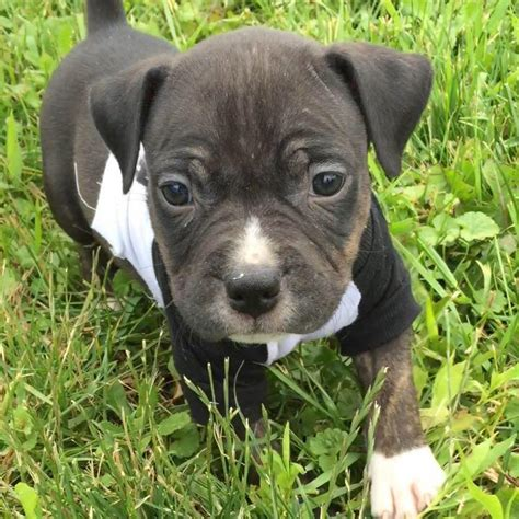 hyperactive puppy biting playful but puppy biting pitbulls go pitbull forums