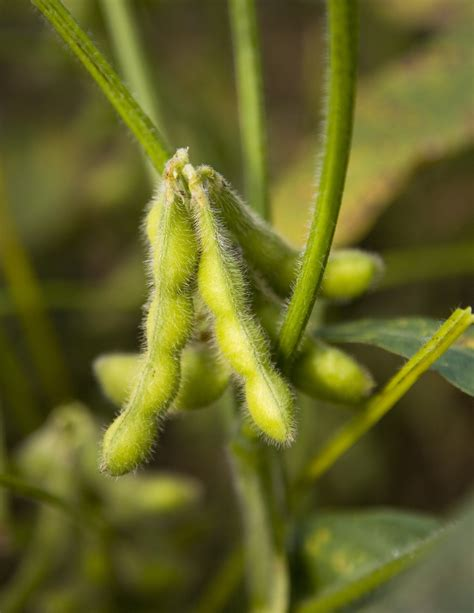 Soya Bean 1 soybeans glycine max soy beans
