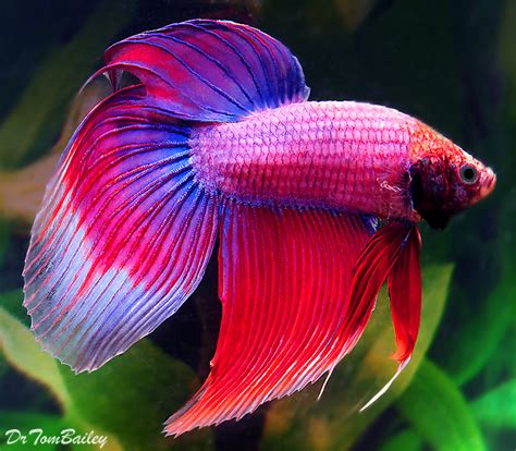 betta fish for sale online joy studio design gallery
