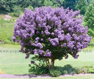 Purple Flowering Shrub - lilas des indes violet lagerstroemia ppinire lcf
