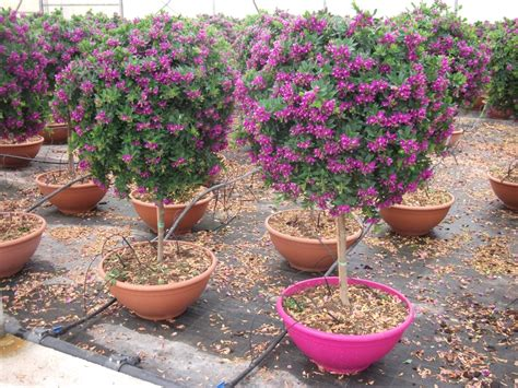 alberelli in vaso vivai de michele piante ornamentali da esterno ostuni