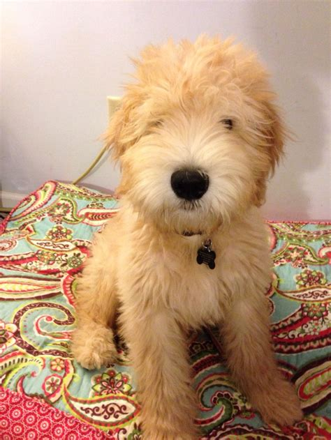 mini wheaten doodle 23 best whoodle images on