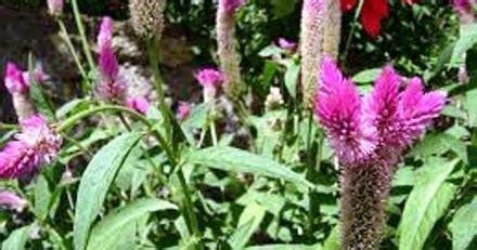 Y Rins Obat Mata tumbuhan yang dapat digunakan sebagai obat sakit mata