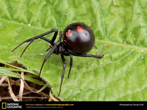 black widow spider national geographics widow spider black widow spider
