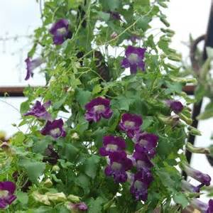 Outdoor Patio Furniture Sales by Climbing Snapdragon Asarina Scandens Violet Perennial