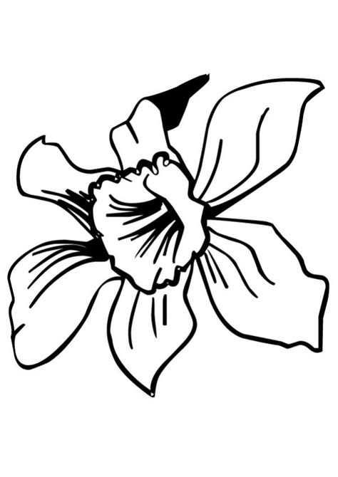 coloring pages daffodil flowers daffodil pictures to print coloring home