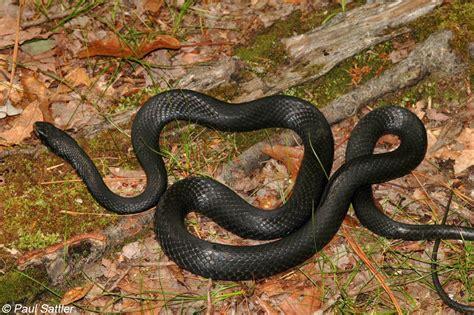 black racer baby black racer snake pictures
