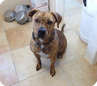 shar pei pitbull mix puppies los angeles ca american pit bull terrier shar pei mix meet a for adoption