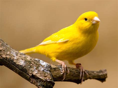 canaries bird yellow stock photos yellow canary facts pet care behavior diet price