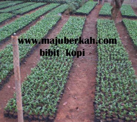 Bibit Kopi Arabika bibit kopi arabika bibit tanaman kopi arabika jual bibit tanaman kopi arabika bibit tanaman kopi