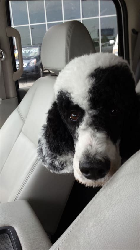 multi poodle lifespan 224 best images about multi colored poodles you to