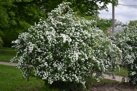 snowmound spirea is a late spring to early summer flowering shrub