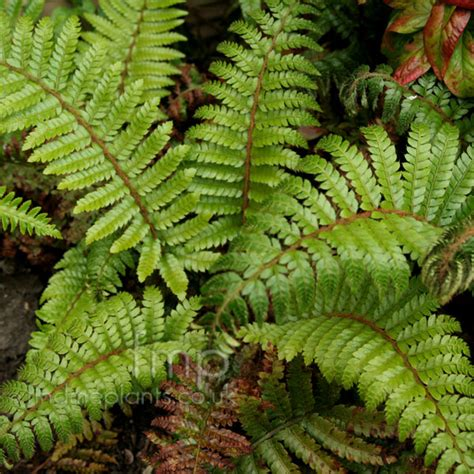 polystichum polyblepharum japanese tassel fern information pictures cultivation tips
