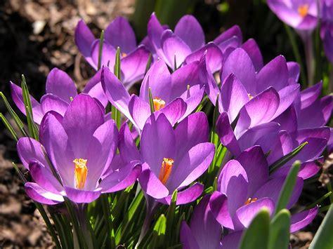 fiore crocus colchici e crocus colchici e crocus bulbi colchici e