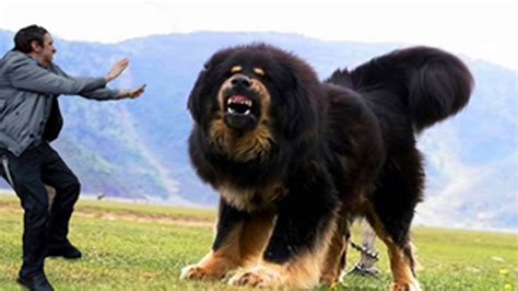 largest breed in the world 15 dogs in the world