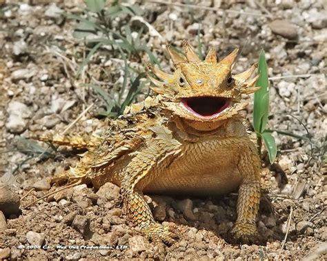 lizard out of 17 best ideas about horned lizard on reptiles