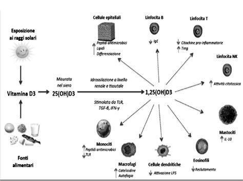 funzioni della funzioni della vitamina d sulle cellule sistema
