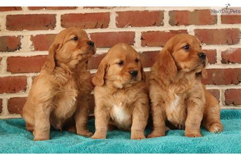 buy a golden retriever puppy 200 yodel golden retriever puppy for sale near lancaster pennsylvania f8bcc3d4 b9d1