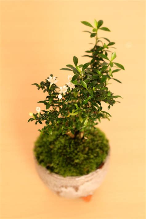 Bonsai Serisa 10759 Limited nakamurabonsai rakuten global market to the variegated