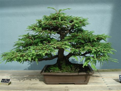 Bonzi Tree | outdoor bonsai trees home garden and landscaping