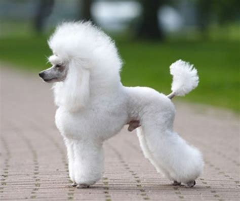 french poodle haircut pictures beautiful french puppy picture of french poodle gorgeous