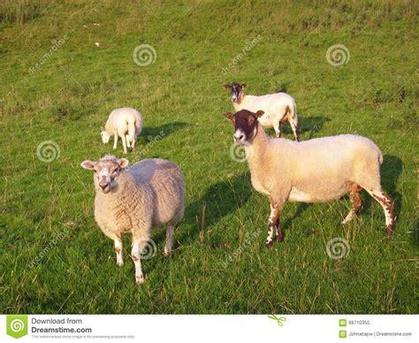 White Vanities Four Sheep