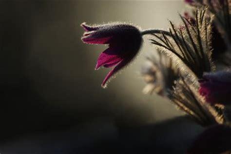 imagenes de flores tristes una rosa y 27 espinas triste flor