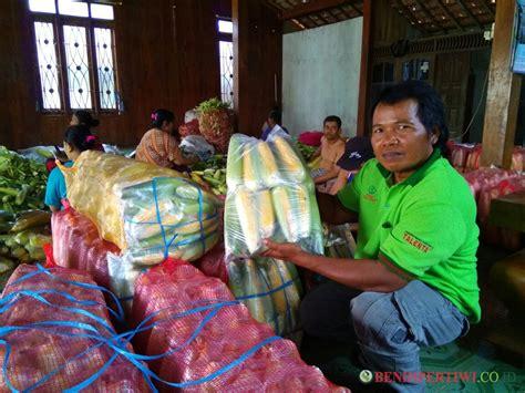 Benih Jagung Talenta sukses pengepul jagung manis talenta 3 4 ton per hari