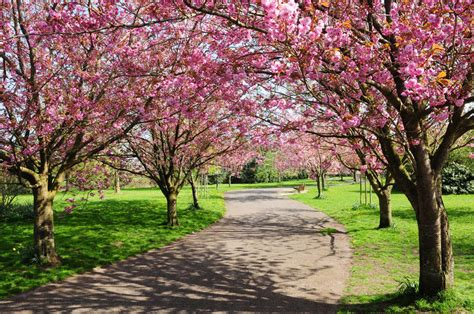 cherry trees b b shere cherry tree path stock photo image of blooming alleyway 25219806
