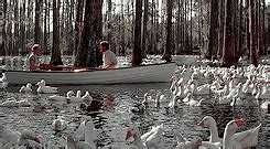 swan boats gif ryan gosling swan gif find share on giphy
