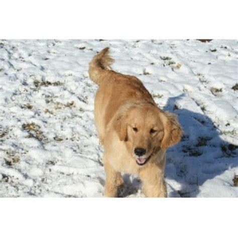golden retriever breeders in central pa mulberry retrievers golden retriever breeder in mount perry ohio